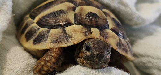 grška kornjača